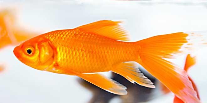 evcil hayvan beslemenin faydaları balık